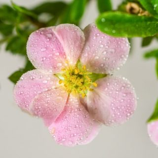 Fingerstrauch Pink Lady / Potentilla fructicosa Pink Lady