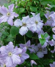 Italienische Waldrebe Blue Angel, Clematis viticella Blue Angel