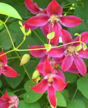 Texas-Waldrebe Sir Trevor Lawrence, Clematis tex. Sir Trevor Lawrence