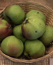Apfel London Pepping spät, Malus London Pepping