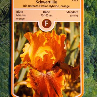 Hohe Schwertlilie Orange / Iris barbata elatior Orange
