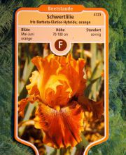 Hohe Schwertlilie Orange, Iris barbata elatior Orange