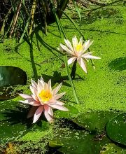 Seerose Colorado, Nymphaea cultorum Colorado