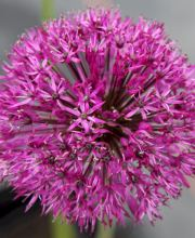 Riesenlauch Purple Sensation, Allium aflatunense Purple Sensation