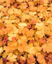 Silberglöckchen Amber Waves, Heuchera micrantha Amber Waves