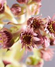 Hauswurz Dark Beauty, Sempervivum cultorum Dark Beauty