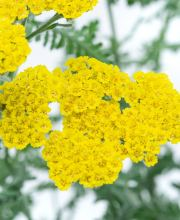 Goldquirl Garbe Moonshine, Achillea clypeolata Moonshine