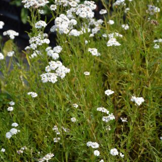 Bertrams Garbe The Pearl / Achillea ptarmica The Pearl