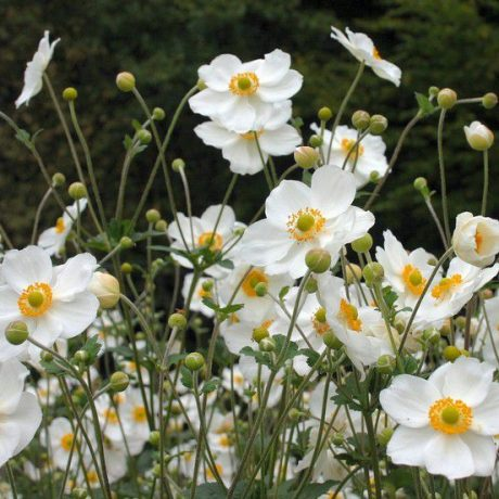 Herbst Anemone