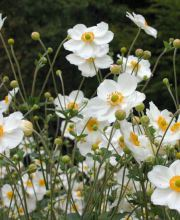 Herbst Anemone, Anemone Japonica