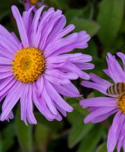 Frühlingsaster Happy End, Aster alpinus Happy End