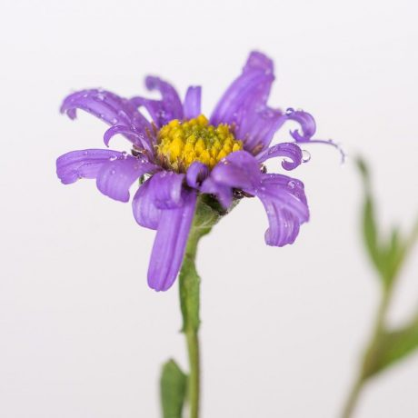 Sommer Aster Dr Otto Petscheck / Aster amellus Dr Otto Petscheck