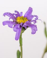 Sommer Aster Dr Otto Petscheck, Aster amellus Dr Otto Petscheck