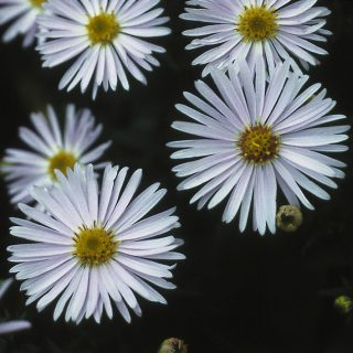Kissen Aster Apollo / Aster dumosus Apollo