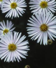 Kissen Aster Apollo, Aster dumosus Apollo