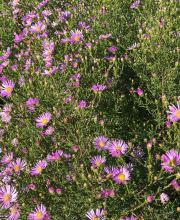 Myrten Aster Esther, Aster ericoides Esther