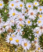 Glattblatt Aster White Ladies, Aster novi belgii White Ladies