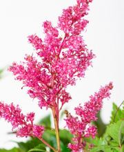 Prachtspiere, Astilbe japonica