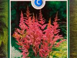 Arends Prachtspiere rosa, Astilbe arendsii rosa