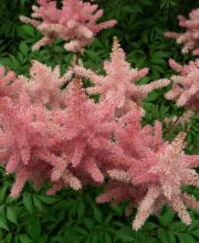 Prachtspiere Finale, Astilbe chinensis Finale