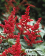 Prachtspiere Red Sentinel, Astilbe japonica Red Sentinel