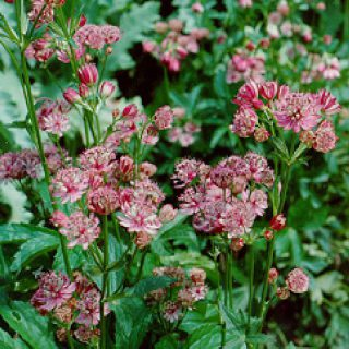 Sterndolde Rosea / Astrantia major Rosea