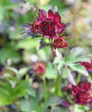 Sterndolde Rubra, Astrantia major Rubra