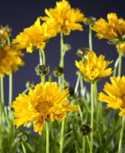 Mädchenauge Early Sunrise, Coreopsis grandiflora Early Sunrise