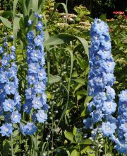 Pacific Rittersporn Blue Bird, Delphinium Pacific Blue Bird