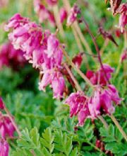 Herzblume Luxuriant, Dicentra formosa Luxuriant