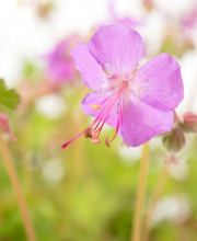 Storchschnabel Cambridge, Geranium x cantabrigiense Cambridge