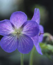 Garten Storchschnabel Johnson´s Blue, Geranium pratense Johnson´s Blue