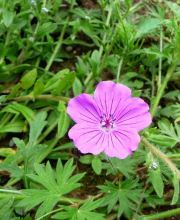 Storchschnabel Tiny Monster, Geranium sanguineum Tiny Monster
