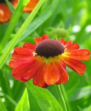 Sonnenbraut Moerheim Beauty, Helenium cultorum Moerheim Beauty