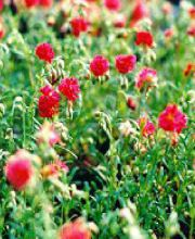 Sonnenröschen Cerise Queen, Helianthemum cultorum Cerise Queen