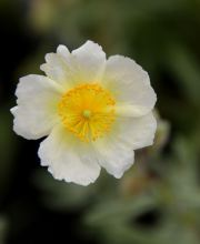 Sonnenröschen Snow Queen, Helianthemum cultorum Snow Queen