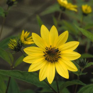 Kleinblumige Sonnenblume Lemon Queen / Helianthus microcephalus Lemon Queen