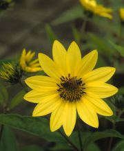 Kleinblumige Sonnenblume Lemon Queen, Helianthus microcephalus Lemon Queen