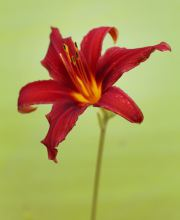 Taglilie Crimson Pirate, Hemerocallis cultorum Crimson Pirate