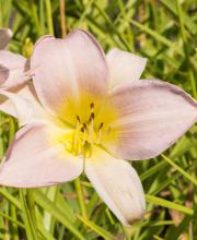 Taglilie Gentle Shepherd, Hemerocallis cultorum Gentle Shepherd