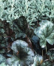 Purpurglöckchen Pewter Moon, Heuchera brizoides Pewter Moon