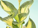 Funkie Great Expectations, Hosta sieboldiana Great Expectations