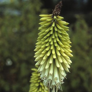 Fackellilie Little Maid / Kniphofia uvaria Little Maid
