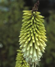 Fackellilie Little Maid, Kniphofia uvaria Little Maid