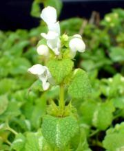 Gefleckte Taubnessel White Nancy, Lamium maculatum White Nancy