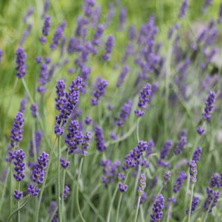 garten lavendel lavandula angustifolia 39 hidcot blue 39 gen g nstig online kaufen. Black Bedroom Furniture Sets. Home Design Ideas