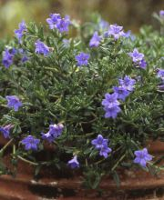 Blauer Steinsame Heavenly Blue, Lithodora diffusa Heavenly Blue