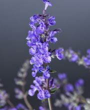 Traubige-Garten-Katzenminze Walker´s Low, Nepeta x faassenii Walker´s Low