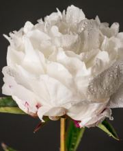 Pfingstrose Shirley Temple, Paeonia lactiflora Shirley Temple