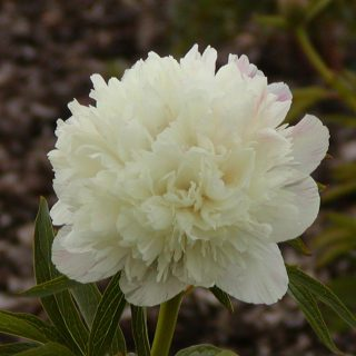 Pfingstrose Alba Plena / Paeonia officinalis Alba Plena